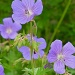 Purple Cranesbill by helenmoss