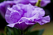 5th Mar 2012 - lisianthus and droplets