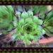 Succulent by jmj