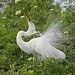 Great White Egret Plumage by twofunlabs