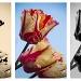 Tulip Study ~ Triptych by seanoneill