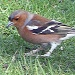 Chaffinch by rosiekind