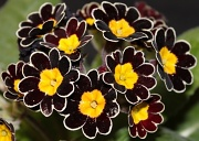 7th Mar 2012 - Primula Glorious Laced Silver