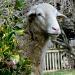Sheepish by calm