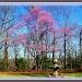 Redbud tree by vernabeth