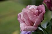 11th Mar 2012 - pink lisianthus