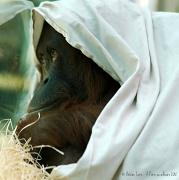 8th Mar 2012 - Orangutan