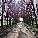 linden trees by gijsje
