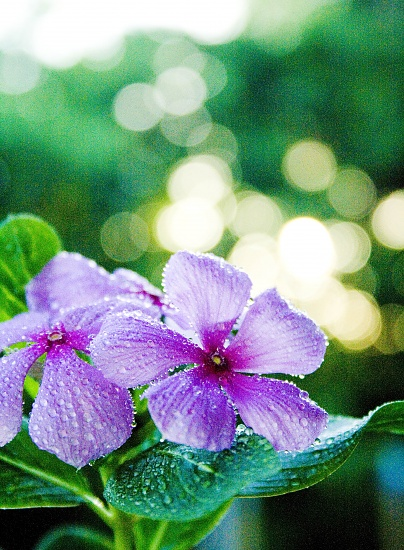 periwinkle by corymbia