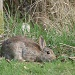 rabbit (silflay in the afternoon sun) by rosiekind