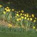 Flipping daffodils! by dulciknit