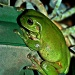 It's a frog on a pot plant by corymbia