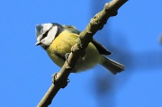 15th Mar 2012 - Blue sky, Blue Tit