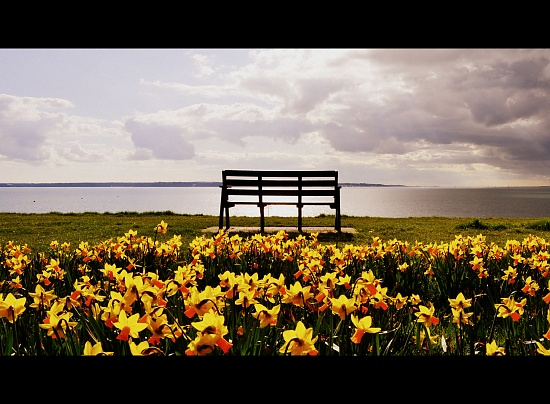 Daffs and Bench by andycoleborn