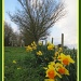 Daffodils by busylady