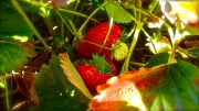 19th Mar 2012 - Sun-ripened strawberries