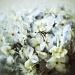Hydrangea by egad