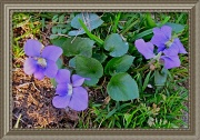 19th Mar 2012 - Shy Violets