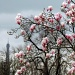 Magnolias are blooming by parisouailleurs