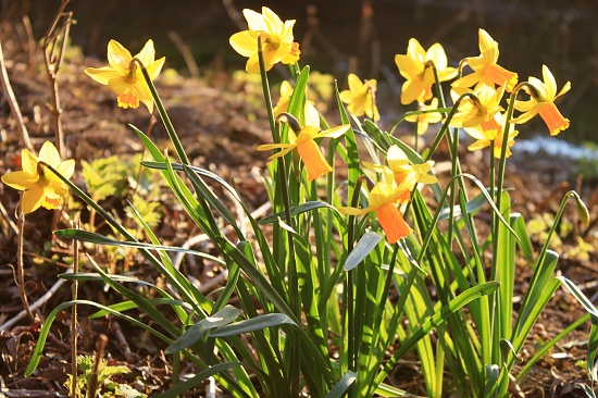 Daffs in the late afternoon sunshine by kimcrisp