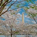 Blooming In DC by lesip