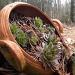 Sempervivum by sunnygreenwood