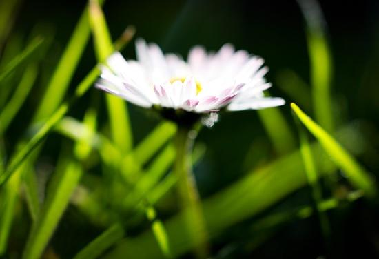 Half-Hearted Daisy by humphreyhippo