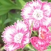 Dianthus by grammyn