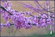 22nd Mar 2012 - Behold the Redbud