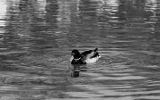 23rd Mar 2012 - Duck's waves