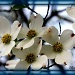 Dogwood Flowers by vernabeth