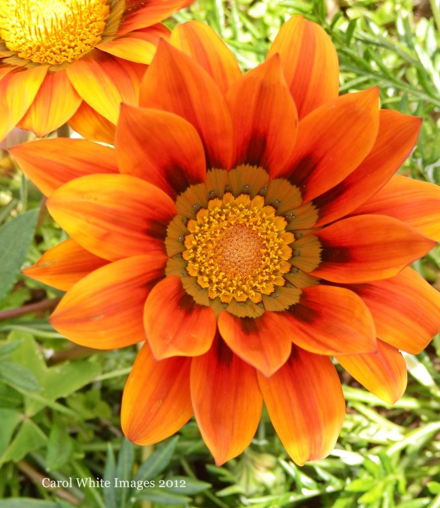Gazania (treasure Flower) by carolmw