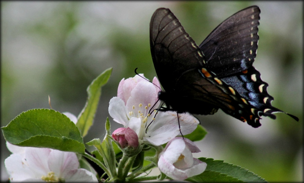 Apple blossoms and butterflies by cjwhite