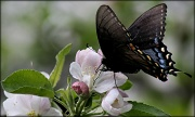25th Mar 2012 - Apple blossoms and butterflies