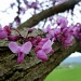 Oklahoma Redbud Tree by calm