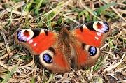 26th Mar 2012 - Beautiful Butterfly