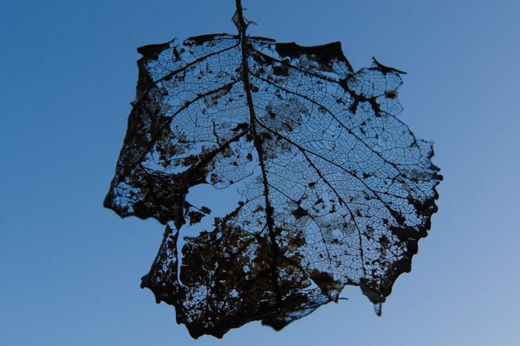 Leaf Skeleton by harveyzone