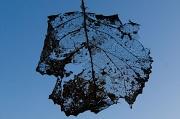 26th Mar 2012 - Leaf Skeleton