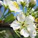 plum tree blooms by myhrhelper