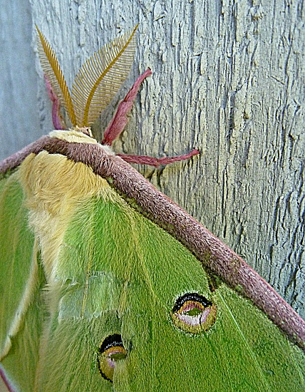 Luna Moth by calm