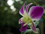 28th Mar 2012 - orchid bokeh