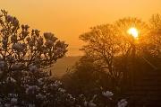 28th Mar 2012 - Magnolia Sunset
