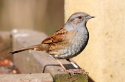 28th Mar 2012 - Delightful Dunnock
