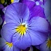Pretty Pansy by calm