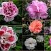 Dianthus  ( Carnation`s) by pyrrhula