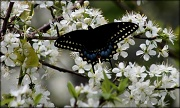 29th Mar 2012 - Black Swallowtail