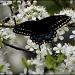Black Swallowtail by cjwhite