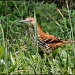 Brown Thrasher by cjwhite