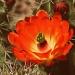 Cactus Flower by kerristephens
