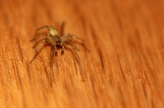 29th Mar 2012 - Meet Harvey the House Spider